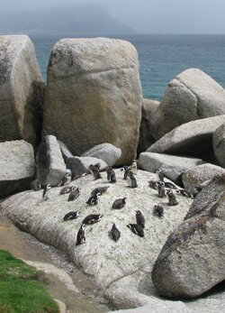 Penguins, Boulders Beach, Simons Town
